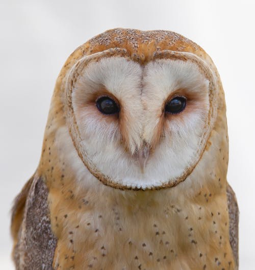 barn owl eye contact